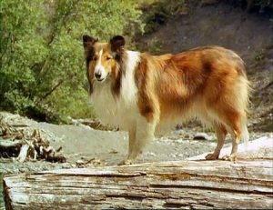 #VenerdìVintage – Lassie, l'eroe della nostra infanzia